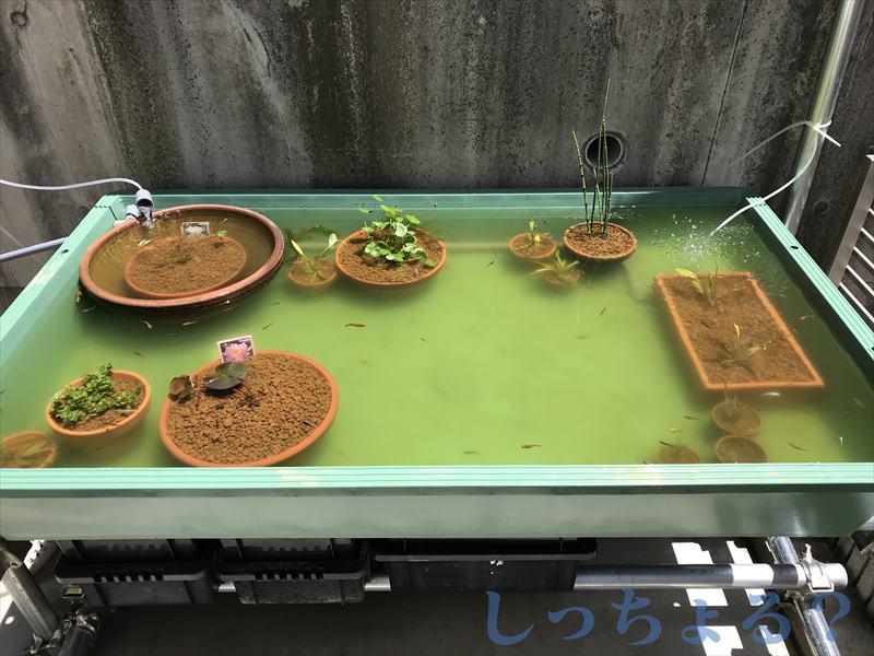 ビオトープ水草